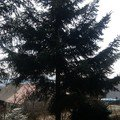 Kaceni stromu img 20150323 120809