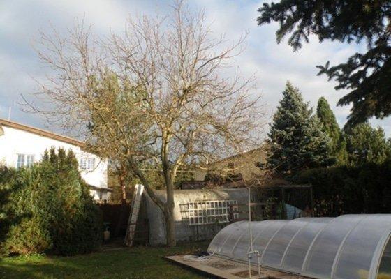 Pokácení borovice a prořez ořešáku